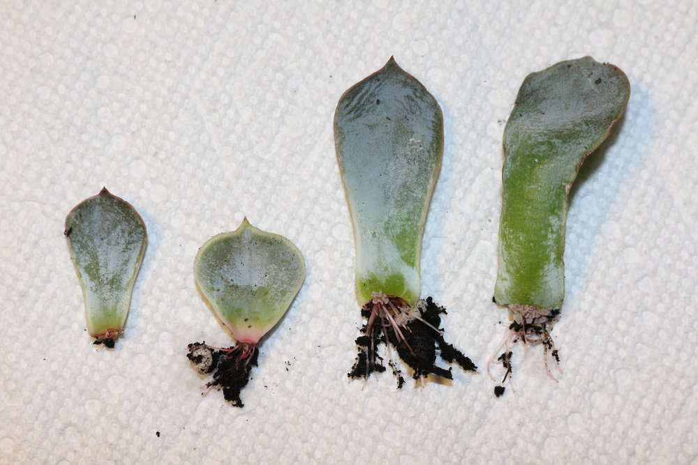 ^ Different stages of growth