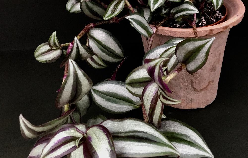 Tradescantie zebrina violet