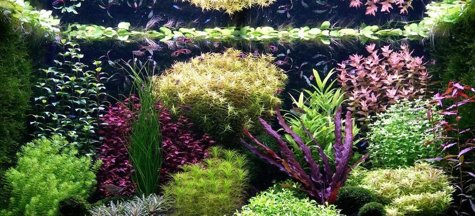 Een aquarium in 'Dutch style'. Deze stijl maakt gebruik van groepen planten met een bepaalde kleur of bladstructuur die – wanneer juist gepositioneerd – een mooi contrast opleveren. De planten worden in 'straatjes' van laag (vooraan) naar hoog (achteraan) geplaatst.