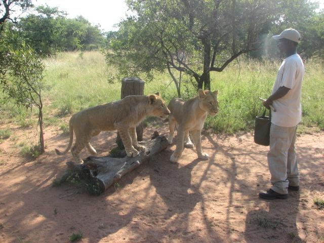 Alimentando leoas