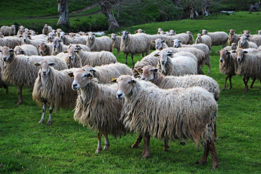 sheep-3284599_1920.jpg