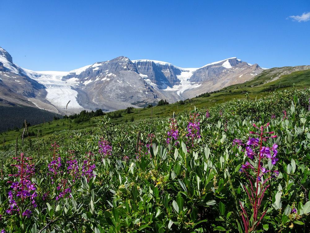 Wildflowers on Wilcox Pass