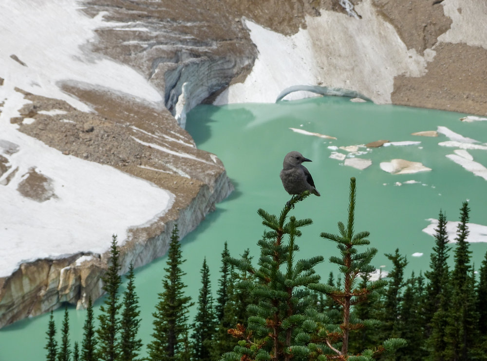 Bird Watching on the Edith Cavell Trail