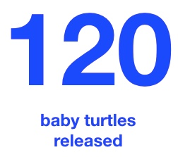 baby turtles released.jpeg