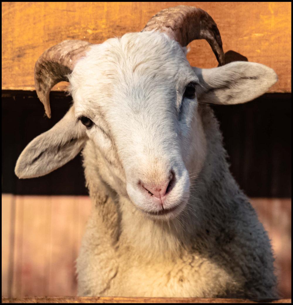 Derpy Goat
