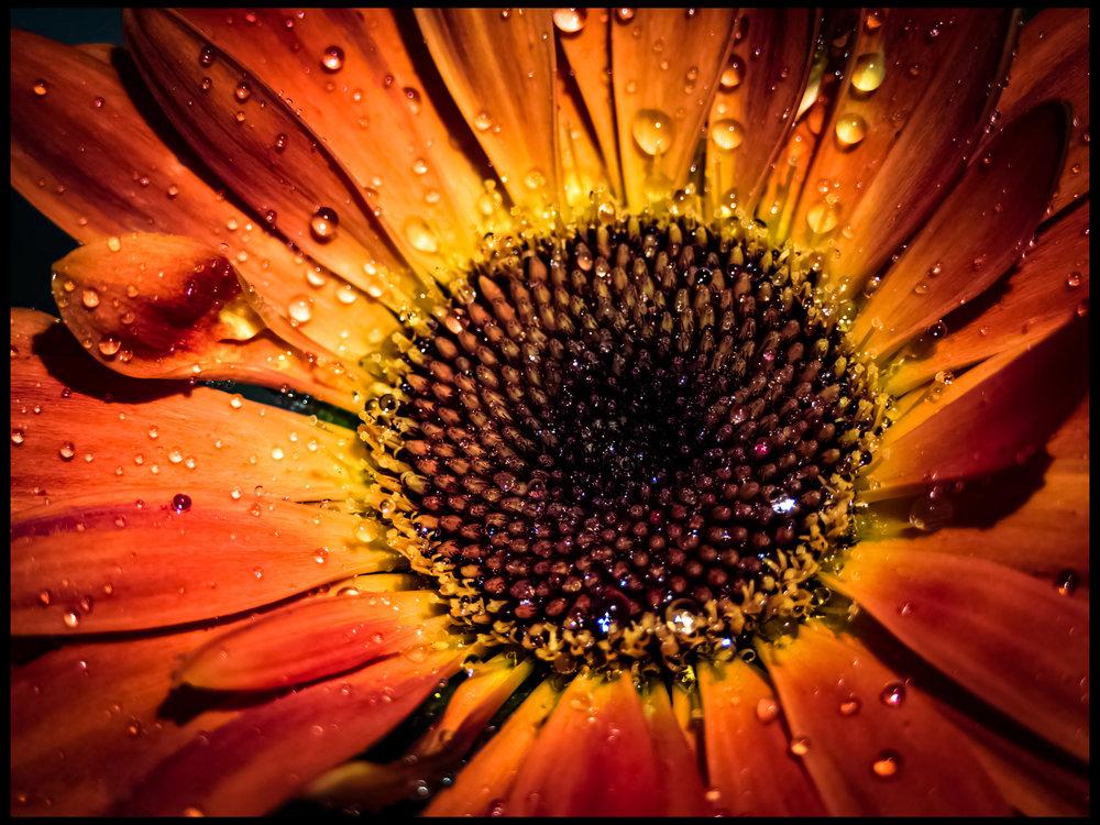 Mama's Sunflower