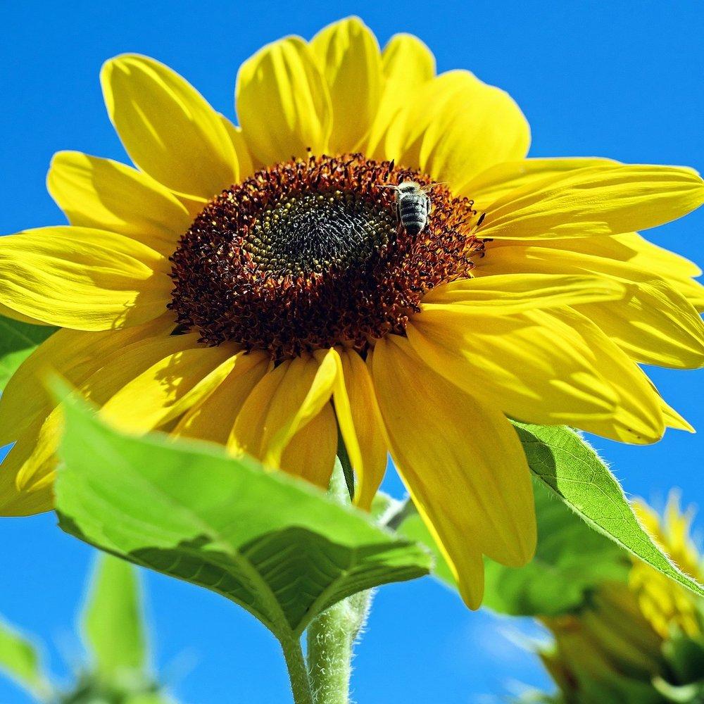 sun-flower-1497092_1920.jpg