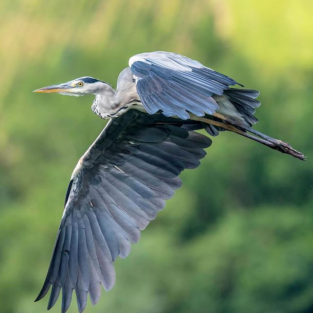 🇱🇺 Grey Heron / Graureiher (Ardea cinerea) in-flight. ©️ChrisHarris Nikon D750 & Nikkor 300mm f/4 PFEDVR + TC17eII #Bird #Vogel #Avian #Birder #BirdsOfInstagram #nuts_about_birds #BirdOfTheDay #Pocket_Birds #your_best_birds #birds_adored #Nature #Natural #Wildlife #NaturePhotography #WildlifePhotography #Outdoors #Wild #Animal #JustGoShoot #PhotographyIsLifee #ChasingLight #stunnersoninsta #art #cute #instagood #photooftheday #heron #dinosaur #fly