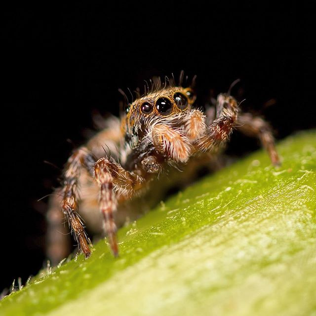 🇩🇪 Jumping Spider / Springspinnen (Aelurillus v-insignitus). ©️ChrisHarris Tamron SP 90mm f/2.8 Di Macro 1:1 VC USD #Nature #Natural #Wildlife #NaturePhotography #WildlifePhotography #Outdoors #Wild #Animal #JustGoShoot #PhotographyIsLifee #ChasingLight #stunnersoninsta #art #cute #instagood #photooftheday #macro #makro #spider #arachnid #macro #makro #macrophotography #eyes #hairy #hair #legs #spinner #spiderphotography