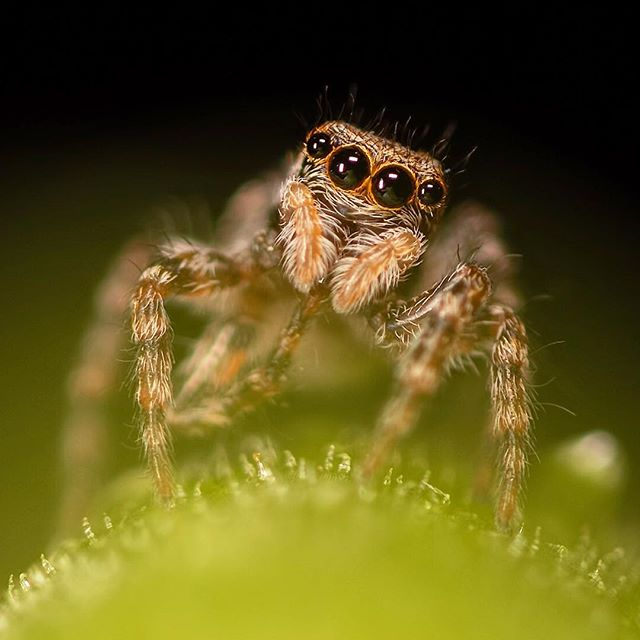 🇩🇪 Jumping Spider / Springspinnen (Aelurillus v-insignitus) in a leaf stem. Though their brains are the size of a sesame seed, jumping spiders demonstrate intelligence of larger brained creatures. They're learners and have notable problem solving and social skills. I think it shows. ©️ChrisHarris Tamron SP 90mm f/2.8 Di Macro 1:1 VC USD #Nature #Natural #Wildlife #NaturePhotography #WildlifePhotography #Outdoors #Wild #Animal #JustGoShoot #PhotographyIsLifee #ChasingLight #stunnersoninsta #art #cute #instagood #photooftheday #macro #makro #spider #spinne #arachnid #arachnophobia #eyes #legs #bokeh #hair #leaf #night #spiderphotography