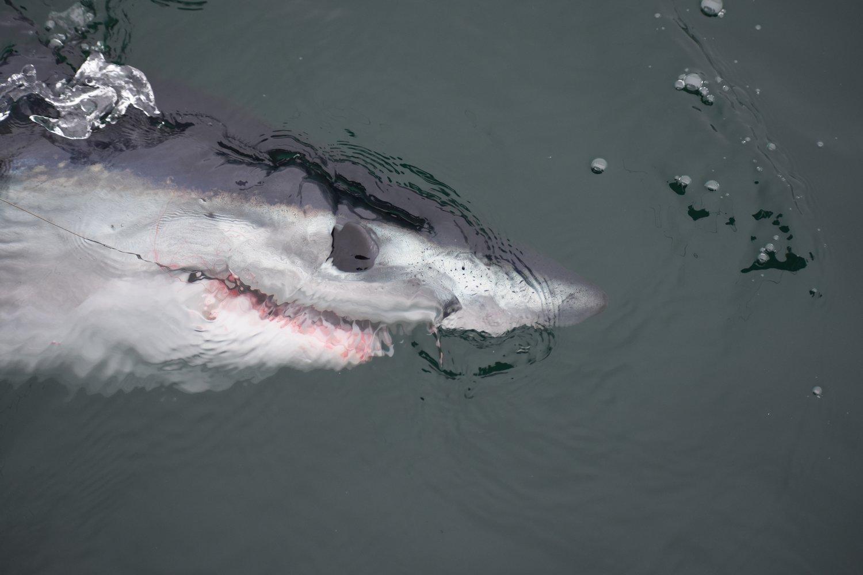 California Shark Fishing
