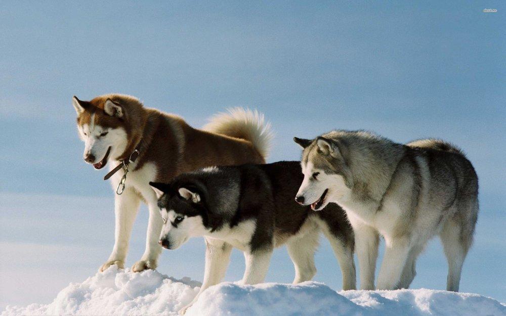 Siberian Husky - The Game Changer
