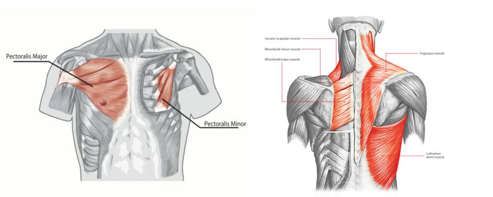 Anatomical diagrams of target muscles: pectoralis major, pectoralis minor, rhomboids, and trapezius.