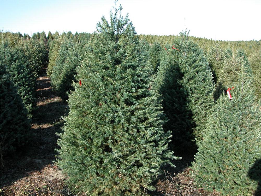 christmastrees.jpg