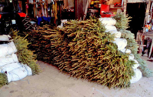 ... Some Varieties Are Planted As Bare-Roots ... - Planting Christmas Trees How We Do It €� Schmuckal Christmas Tree Farms
