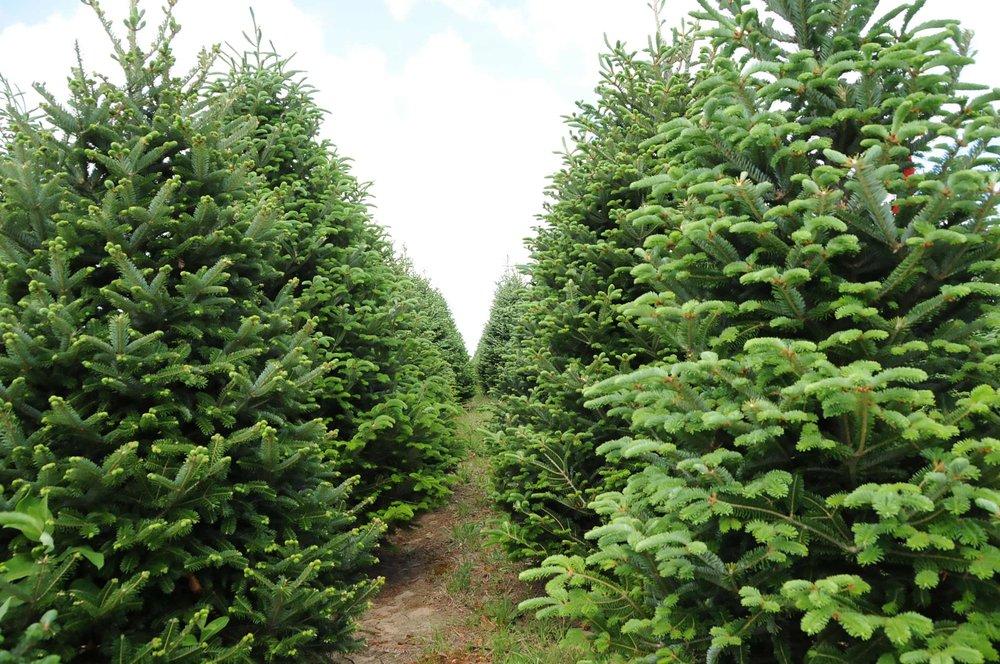 trees-rows-3406-1-32-2500.jpg