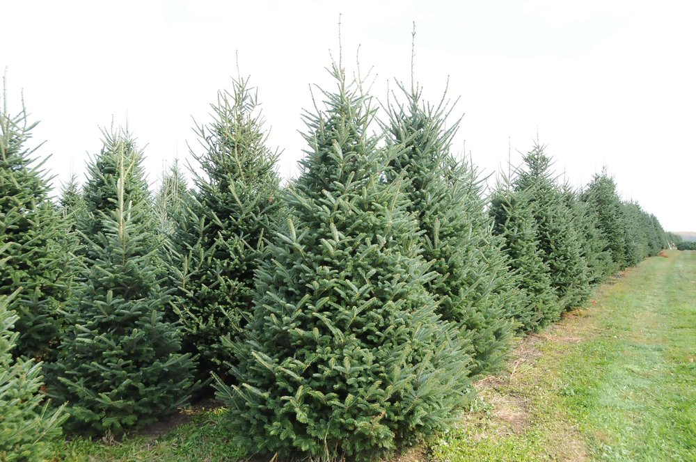 trees-tall-4508-46-2500.jpg