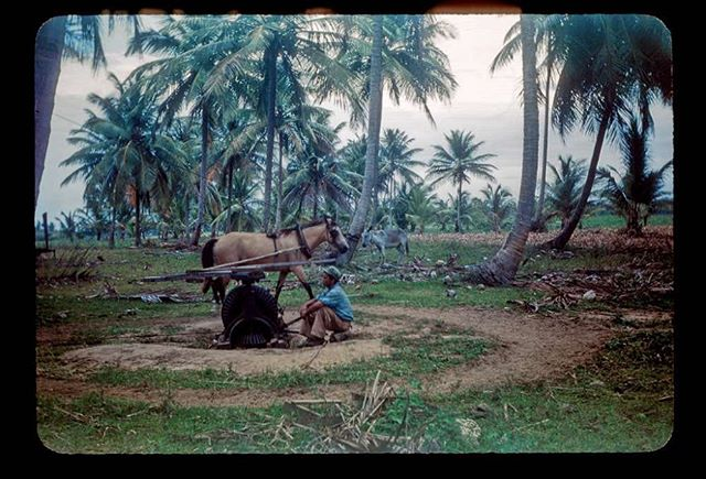 Cane mill, horse harnessed to winch, driver resting. The Piñones - Vaciatalega area, not far from San Juan. Between 1944 and 1947.  Source: H. Clair Amstutz, http://ferrocarrilespr.rogerseducationalpage.com/?p=2772 . #PuertoRico #Caribbean #Caribe #Postcards #Afrocaribbean #Indigenous #Afroindigenous #Afroboricua #Vintage #1900s #History #CaribbeanHistory #1940s #40s