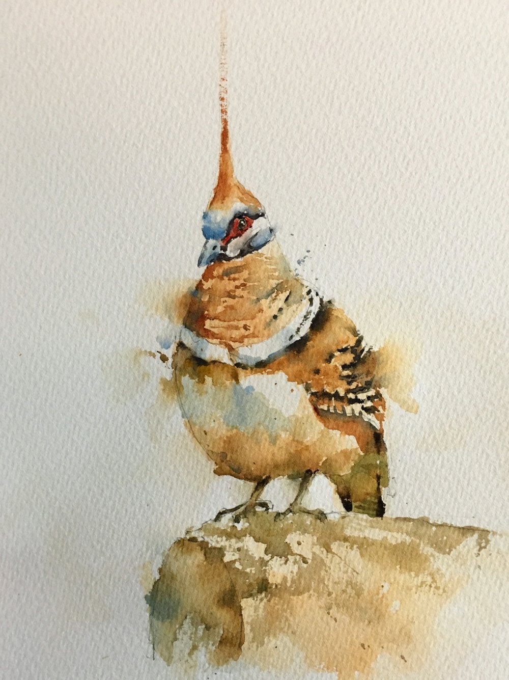 "Spinafex pigeon. Michele Clamp. Watercolor 10""x8"""