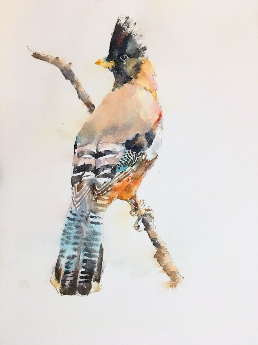 Black-headed jay.  Michele Clamp. Watercolor