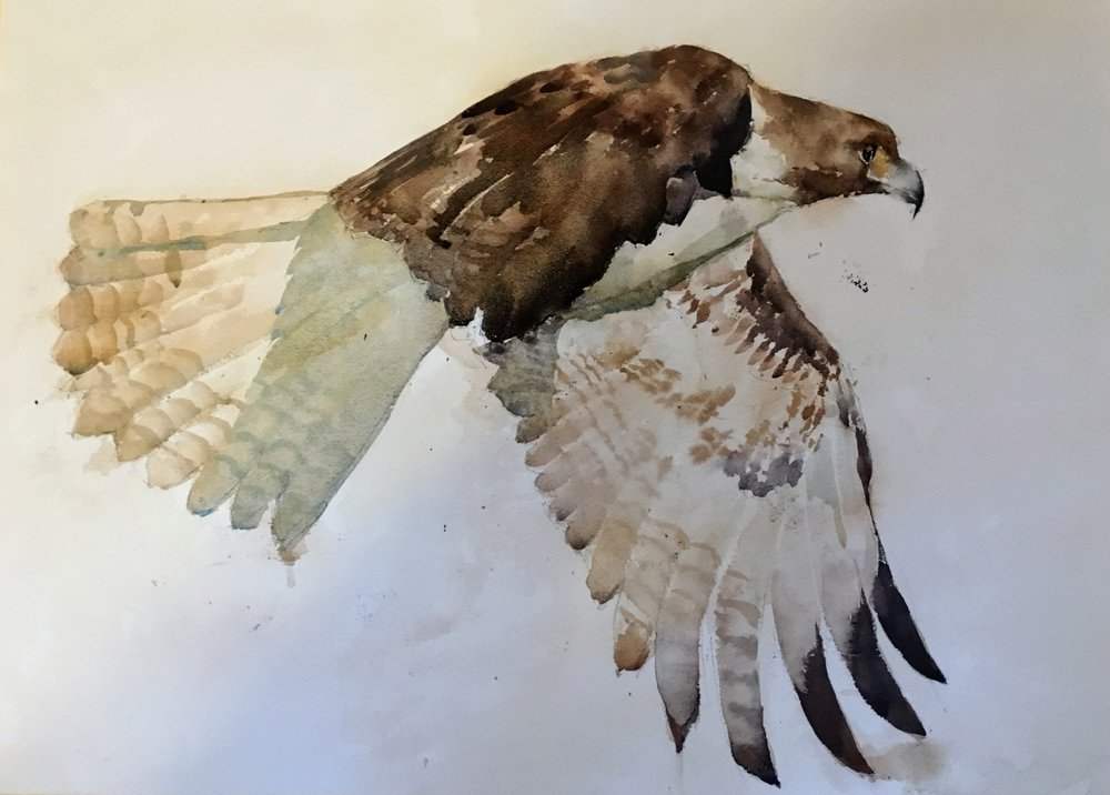 "Hawk.  Michele Clamp.  Watercolor 18""x24"""