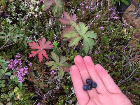 Icelandic Bilberries