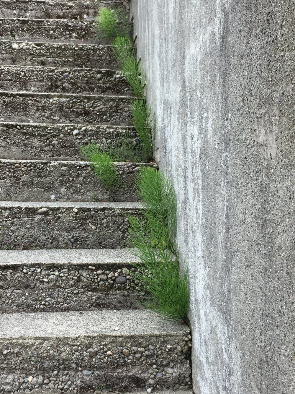 Horsetails (Equisetum arvense) climb steps up Queen Anne Hill in Seattle.