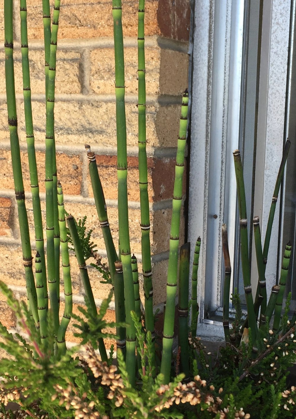 Stems of rough horsetail (Equisetum hyemale) rising above another plant in a pot.  Small greenish-blackish leaves are formed at each node.