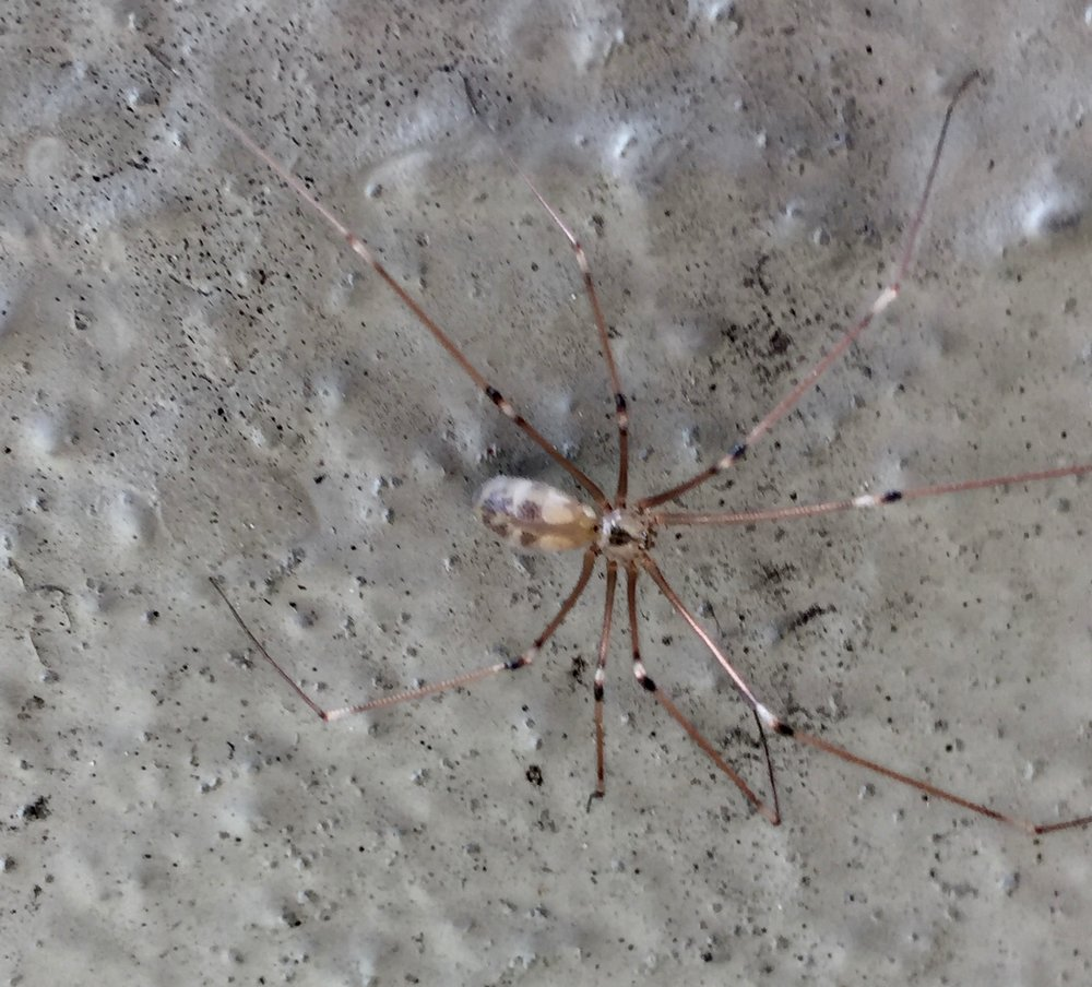 Cellar spider, Pholcus phalangioides