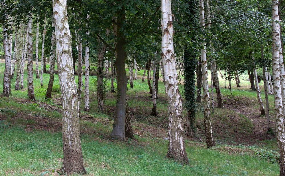 Birch_Wood_(6018757991).jpg