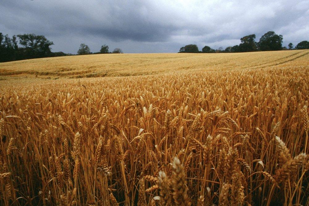 corn picture.jpg