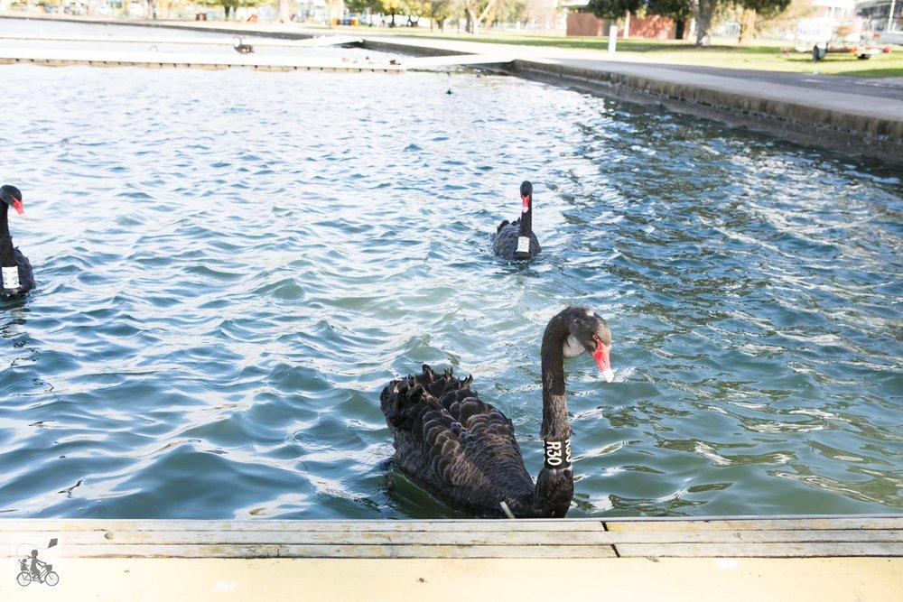 Albert Park Lake (21 of 30).jpg