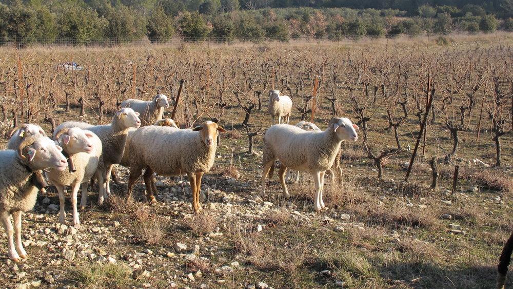 Vic Le Fesq, Languedoc
