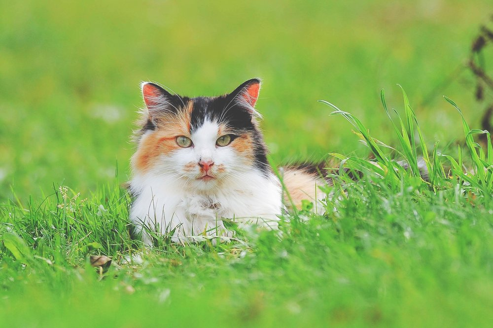 Common Feline Illnesses - Learn about common feline illnesses such as upper respiratory infections, parasites and allergic dermatitis, and how to manage them!http://www.haveweseenyourcatlately.com/common_feline_illnesses.html