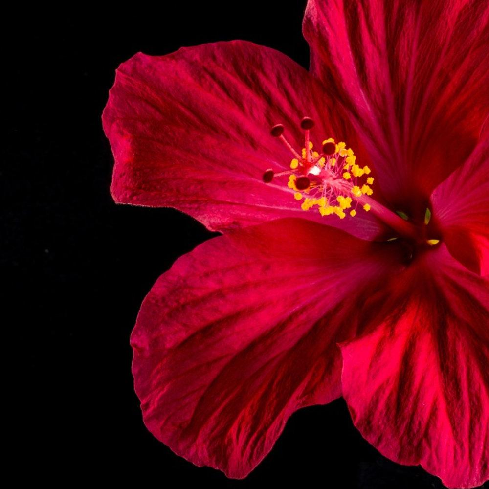 Hibiscus - Prettiest Beauty Ingredient