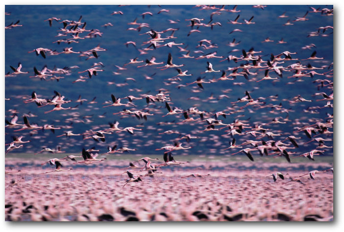 FLOCKS OF FLAMINGOS are elements in this photo that move in the same direction, distinguished by flight, suspended in the air above the ground, unfocused view of stationary flamingos.
