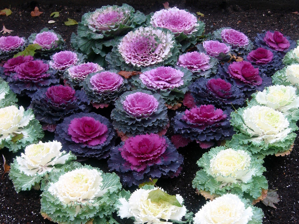 ORNAMENTAL CABBAGES                                                                              Photo: Pinterest