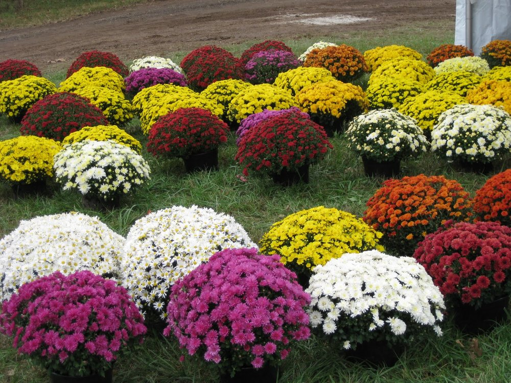 "CHRYSANTHEMUMS  ""MUMS""                                                                 Photo: Pinterest"