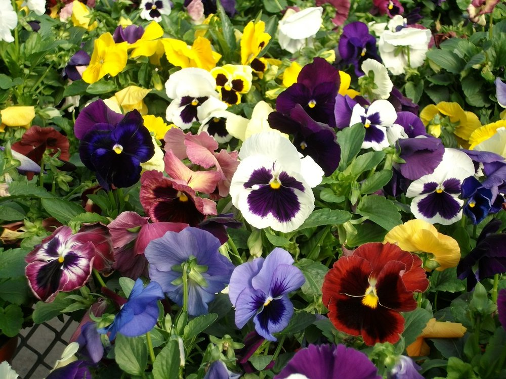 PANSIES                                                                                                Photo: Calloway's Nursery