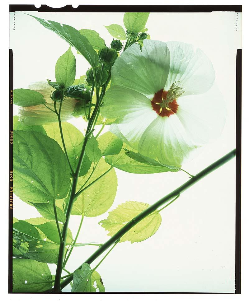 "Hibiscus moscheutos ""hibiscus"""