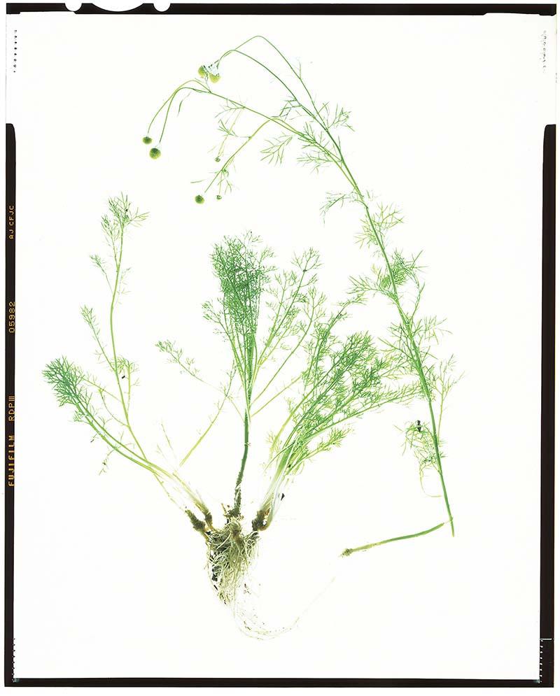 """Matricaria chamomilla """"German chamomile"""""""