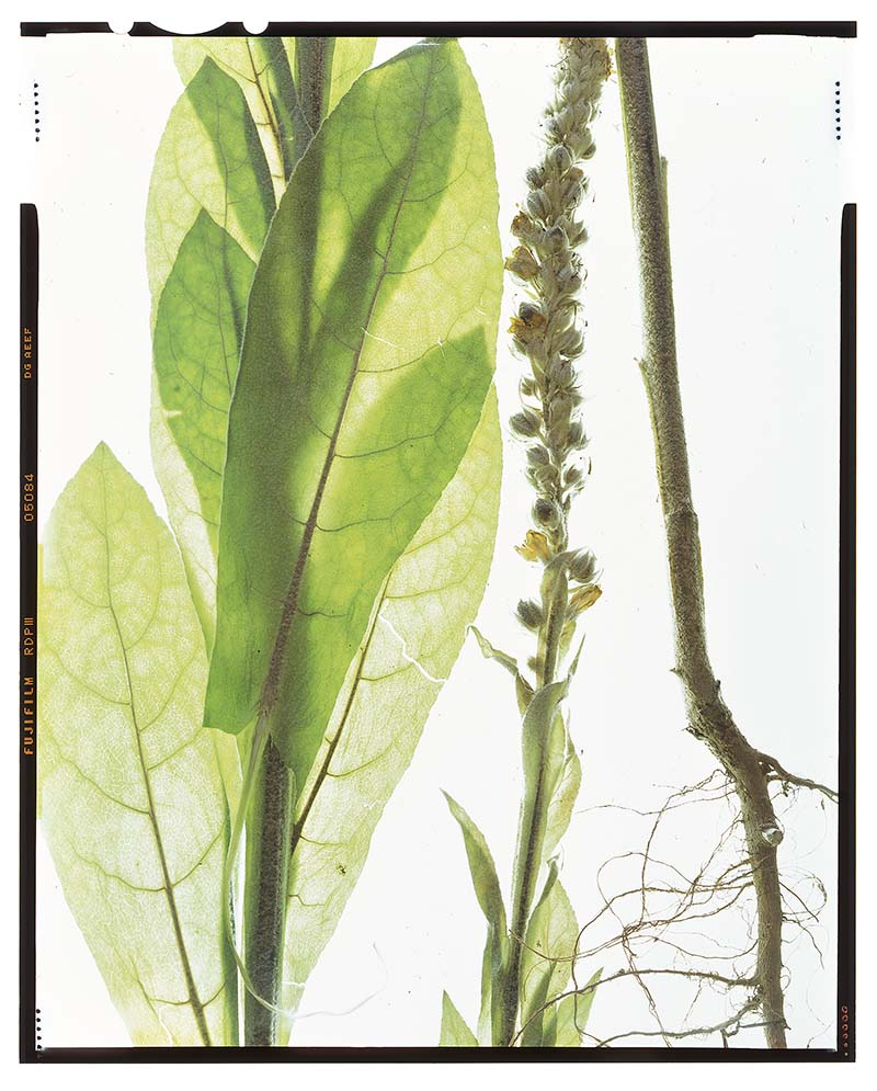 """Verbascum thapsus """"mullein"""""""