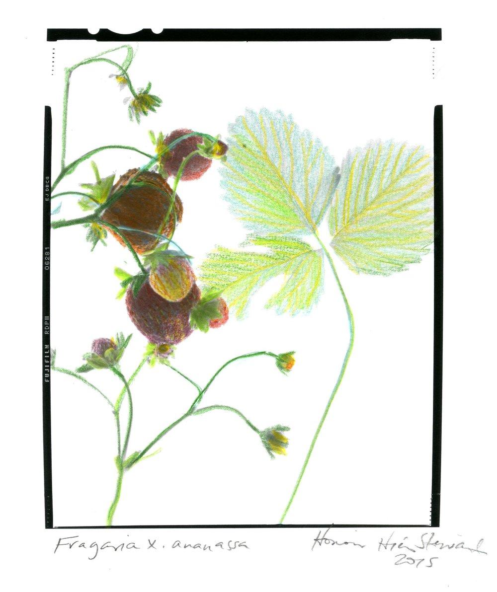 Fragaria x ananassa Honour Stewart 2015039.jpg