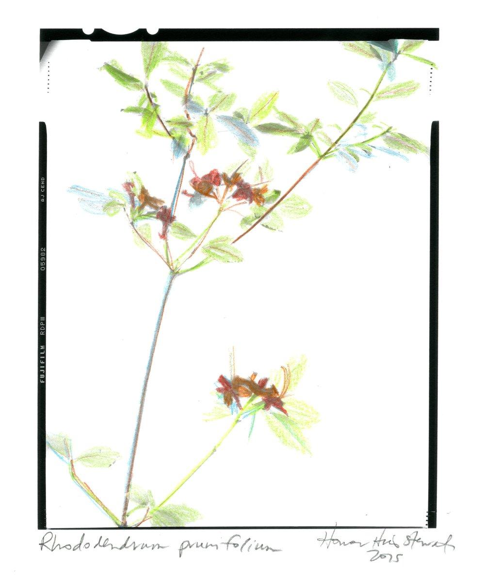 Rhododendrum prunifolium Honour Stewart 2015038.jpg