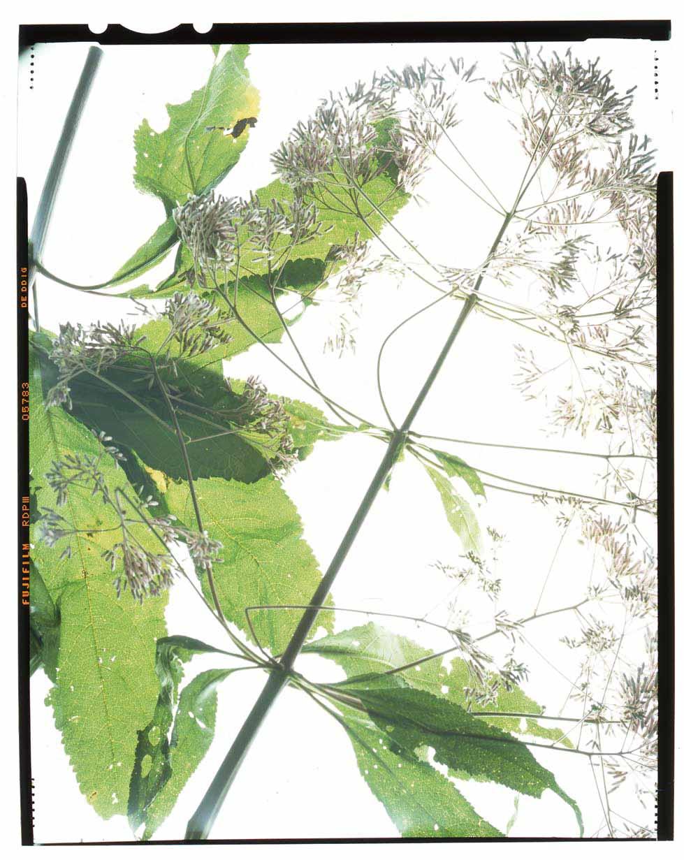 Eutrochium purpureum Honour Hiers Stewart 2013.jpg