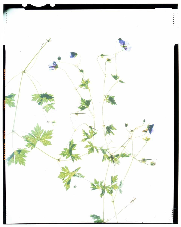 Geranium robertianum Honour Hiers Stewart 2013.jpg