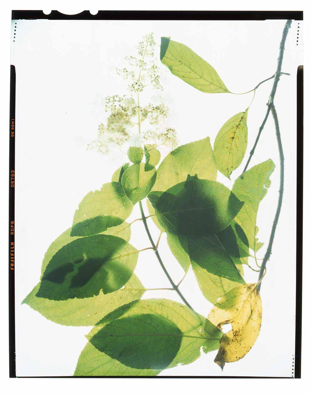 Hydrangea paniculata Grandiflora Honour Hiers Stewart 2013.jpg