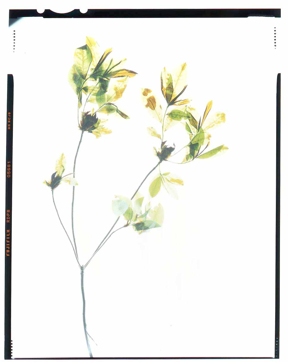 Rhododendron calendulaceum Honour Hiers Stewart 2012081.jpg