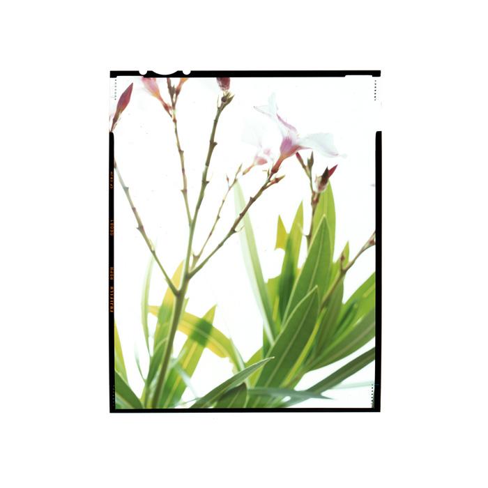 Nerium oleander Honour Hiers Stewart.jpg