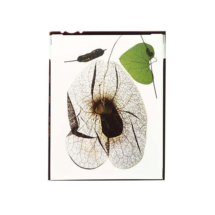Aristolochia macrophylla Honour Hiers Stewart 2017.jpg